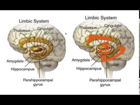 LIMBIC SYSTEM MNEMONIC!!! - YouTube Limbic System Add
