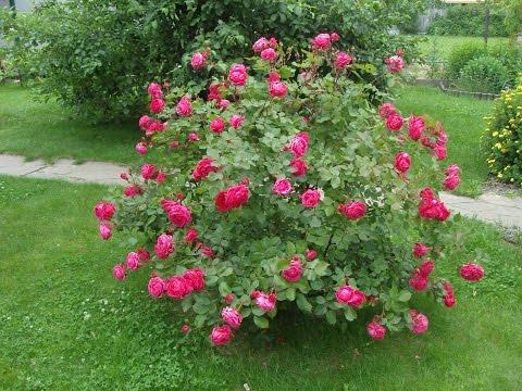 Посадка сортовых роз. Парковые