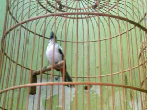 chao mao mo hanoi.3gp -Kênh về chim Chào mào của Triệu Triệu