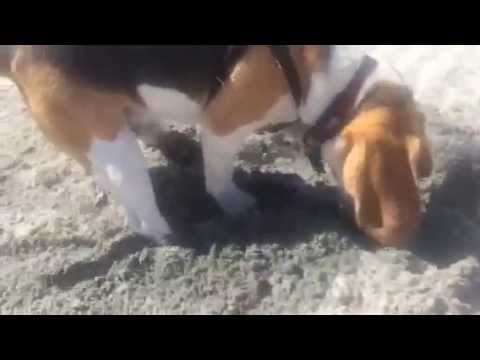 Archie Beagle Clam Dig
