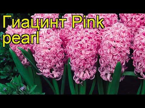Гиацинт Розовый Жемчуг. Краткий обзор, описание характеристик, где купить луковицы Pink pearl