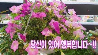 이세상 가장 키우기 쉬운꽃 물만 주면 잘자란다~사파니아꽃  Flower