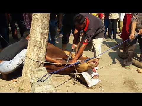 Kurban Sapi Di Desa Panyindangan Wetan Indramayu Jawa Barat