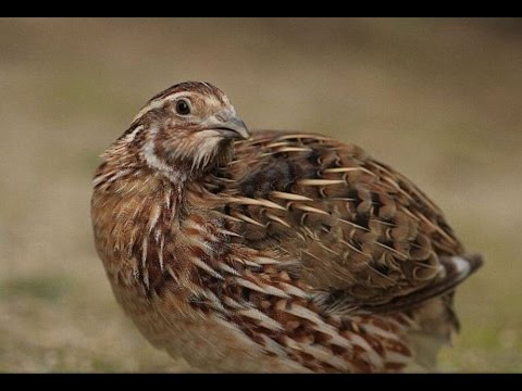 Namakkal gold layer quail reared under californian system of rearing