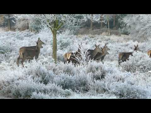 Reindeer -  Present Beautiful Clicks