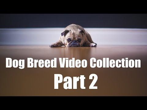 Dog Breed Video Collection Part 2: Breed Compilation L-Z