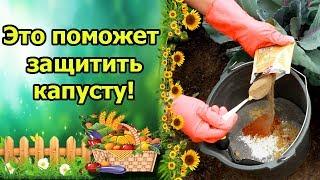 видео Вредители капусты