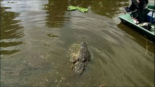 Dealing with Dangerous Florida Alligators - Ultimate Killers - BBC