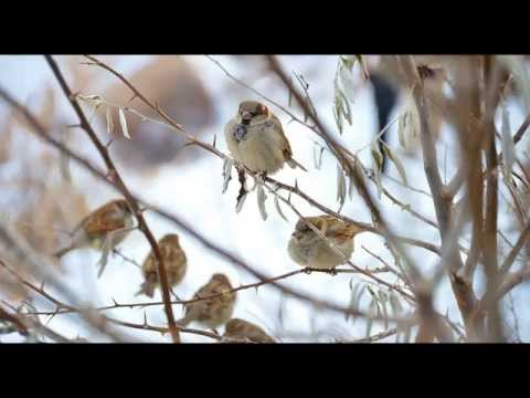 Birdsong on a Winter Morning - 30 min Relaxing Nature Sounds