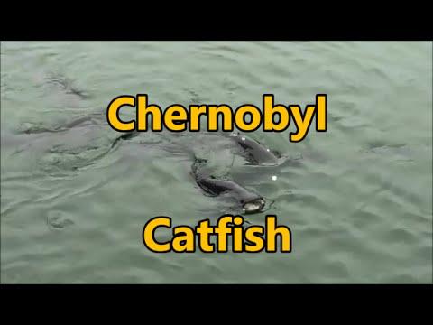 Radioactive Catfish In Chernobyl