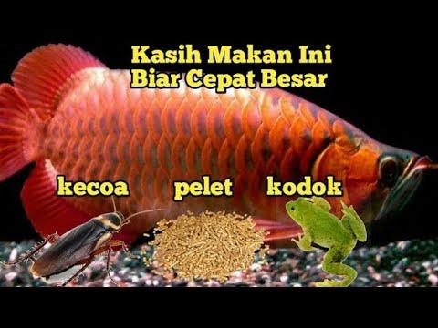 Makanan Ikan Arwana Biar Cepat Besar 100 Berhasil Youtube