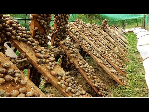 Amazing Snail Farm Technology ? - Snail Harvest and Processing - Products of Snail : Snail caviar