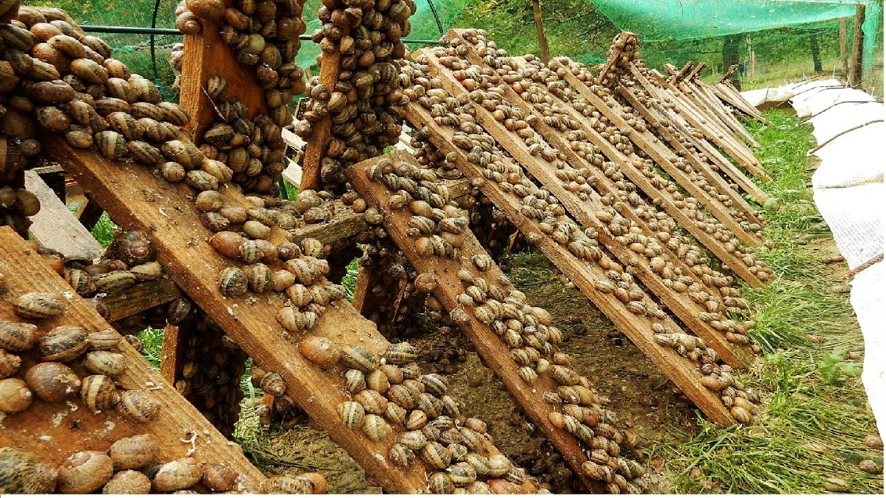 Download Amazing Snail Farm Technology 🐌 - Snail Harvest and Processing - Products of Snail : Snail caviar