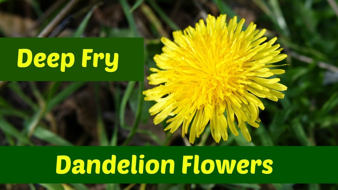 Dandelion Flowers Three Ways To Deep Fry Dandelion Flowers Youtube