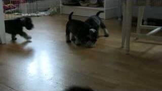 Miniature Schnauzer Puppies Born 11`th Of January 2010