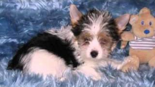 Yorkshire Terrier Welpen In Coesfeld