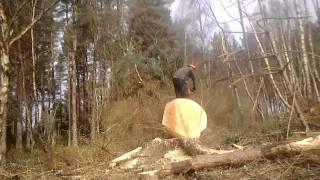 felling spruce culbin forest scotland