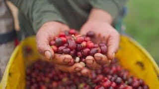 Proceso del café en Acevedo Huila