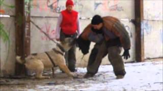 Среднеазиатская овчарка(central asian shepherd dog), Джамиля Совские Пруды, работает на площадке