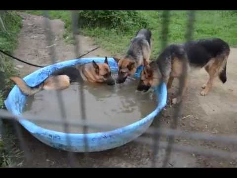 german-shepherds-for-sale-2013-pool-party