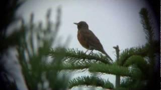 アカハラが鳴く Singing Bird Brown Thrush