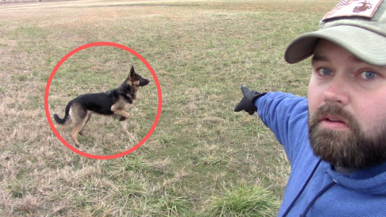 german-shepherd-saved-my-kids-from-wild-dog-in-broad-daylight