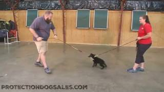 Hyde Von Prufenpuden 8 Wks Early Puppy Training Black German Shepherd