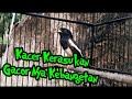 Kacer Gacor Full Ngeplay Dari Detik Awal Sampe Akhir  Mp3 - Mp4 Download