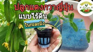 ปลูกแตงกวาญี่ปุ่น แบบไร้ดินในกะละมัง || hydroponics home garden. ep.109
