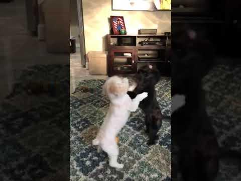 Maltipoo Cockapoo puppy fight