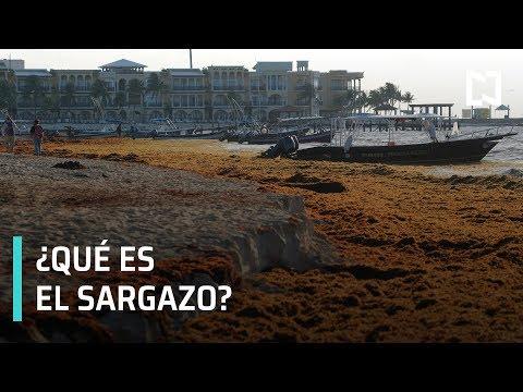 ¿Qué es el sargazo? | Sargazo llega a playas mexicanas