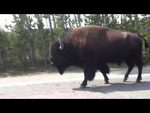 A Yellowstone bison walking outside our car