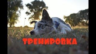 БОРДЕР КОЛЛИ Зои   ТРЕНИРОВКА