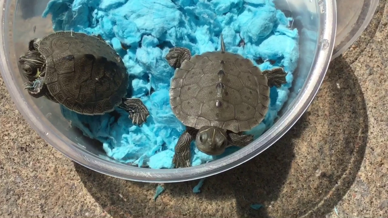 Mississippi Map Turtle Hatchling Unboxings two baby Mississippi Map Turtle hatchlings   YouTube