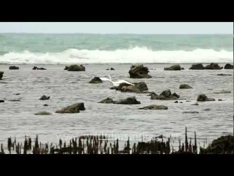 Egret along Timor beach