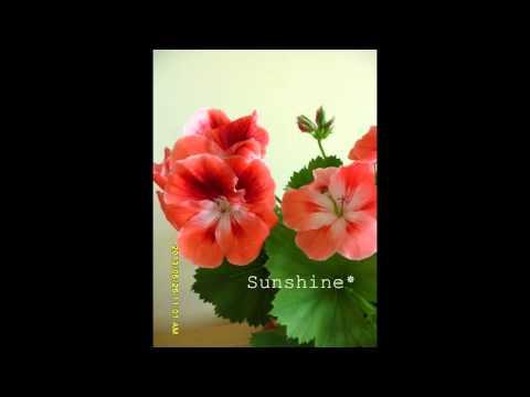 Regal Pelargonium Mandarin