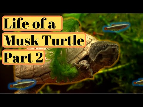 Musk Turtle Feeding/Diet, Tank Mates & Care Guide PART 2