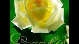 Белоснежная роза В.Новский