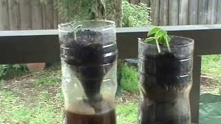 Phil's Gardening Tips And Tricks Update On The Self Watering Drink Bottle Pots