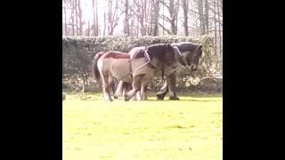 Chevaux de trait qui tire un tron d arbre