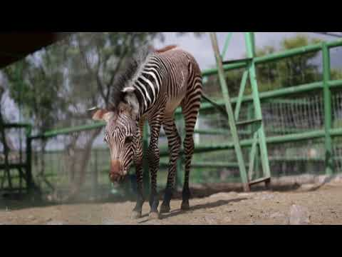 Zebra foal makes public debut at Mexico zoo
