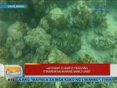 UB: 140 giant clams o taklobo, itinanim sa marine sanctuary