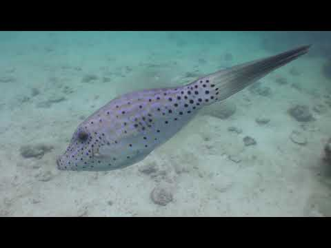 A Curious Scribbled Filefish