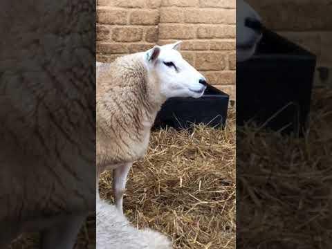 Sheep breeding Richard Smith, Daylesford