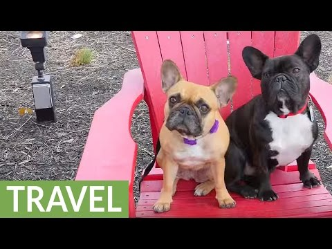 French Bulldogs Visit Historic Holiday Destination