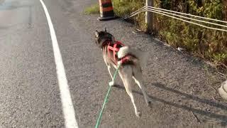 Bikejoring With Spike The Siberian Husky
