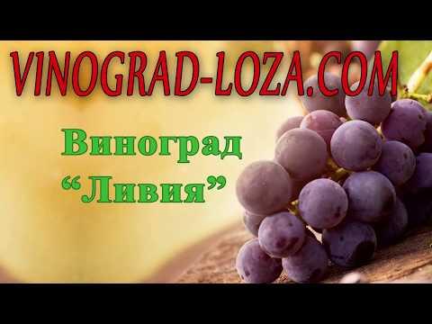 Виноград «Ливия»: описание сорта. Сезон 2018