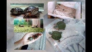 Как ухаживать за новорождёнными черепашатами красноухой черепахи.