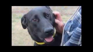 Adopt Me! Labrador/shepherd Mix (24593942)