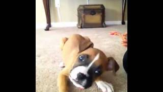 Zooey the Boxer Puppy Tries to Pick a Fight with Herself